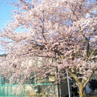 Cherry blossom at our plant